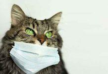 Что нужно знать о своих кошках и коронавирусе